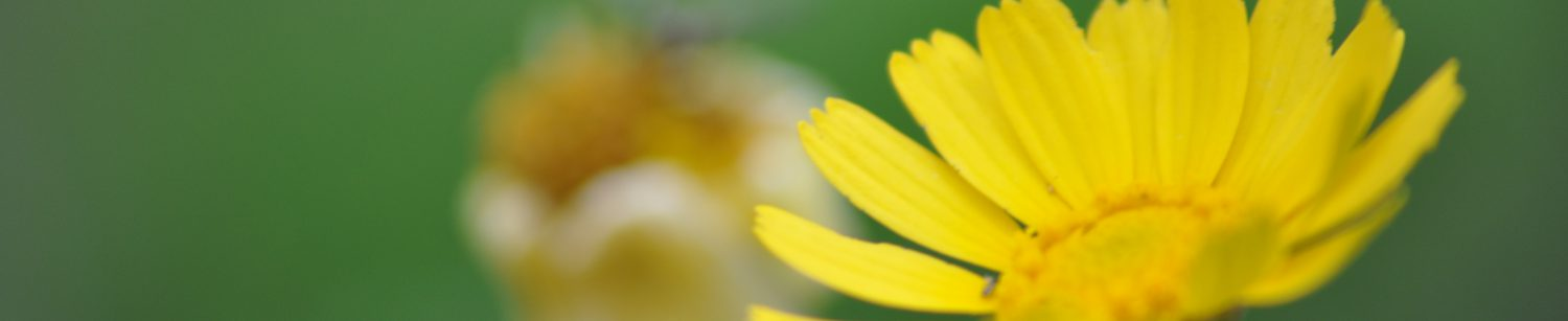 A yellow flower is in focus on the right side of the photo. There is a white flower more in the background, blurred out.